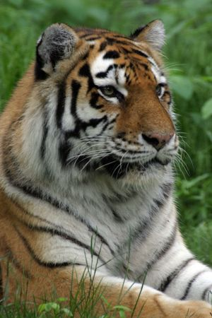 Portrait of a Tiger Stock Photo - 266495