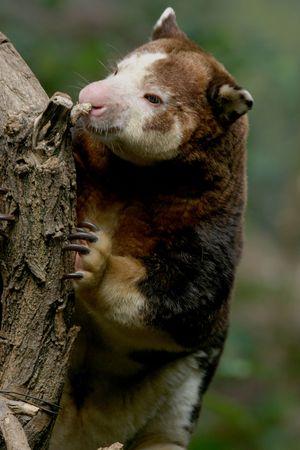 Tree Kangaroo Papua New Guinea Stock Photo