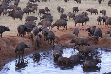 pozo de agua: Manada de b�falos en una charca