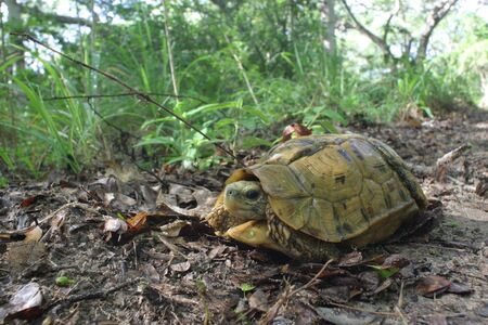 hinged: Hinged Turtoise Kinixys belliana