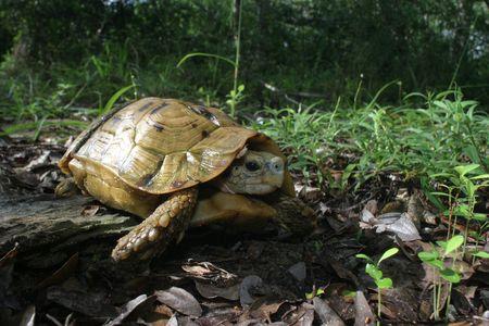 ancient turtles: Hinged Turtoise Kinixys belliana