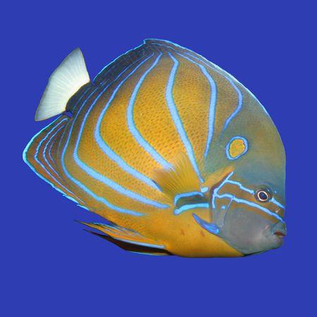 pomacanthus: Blue ringed Angelfish