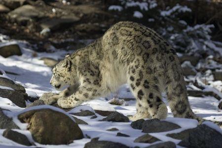arching: leopardo de nieve arqueo atr�s