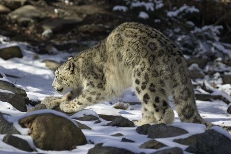 arching: snow leopard arching back
