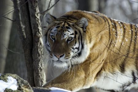 intent: Tiger in the woods Stock Photo