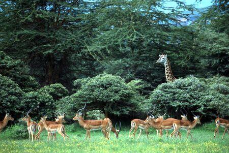 overlooking: Giraffe overlooking herd of impala antelopes