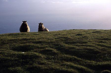 Due pecore Peeking oltre la cresta dal mare su isole Shetland Archivio Fotografico - 266400
