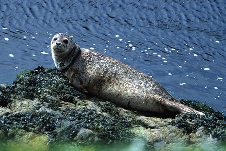 Harbour Seal Sunbasking