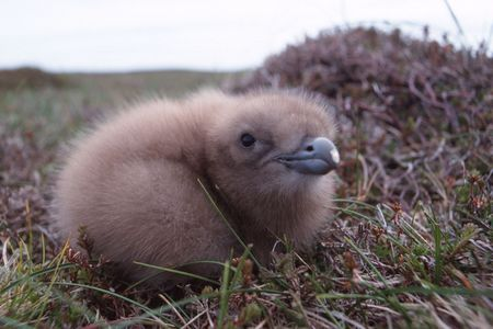 hatched: Freshly hatched skua chick