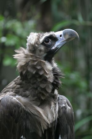 Cinereous Vulture Searching Sky