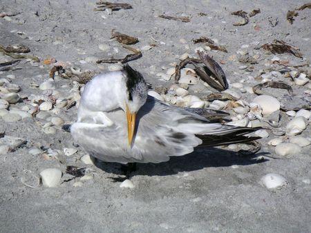 preening: Royal tern preening