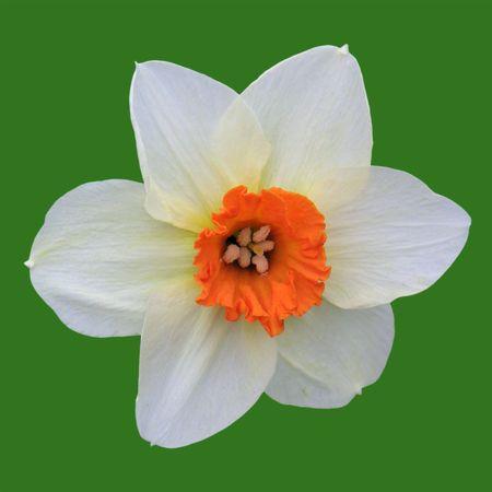 White orange daffodil