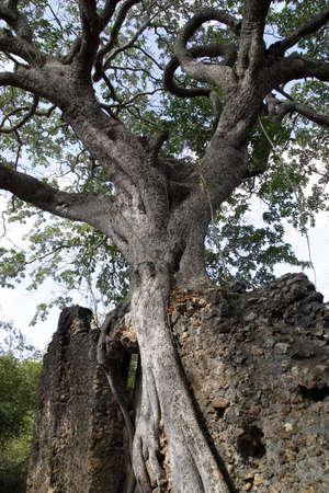 strangler: large fig tree growing on ruin wall