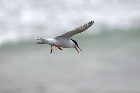 birdlife: Roseate Tern in Flight