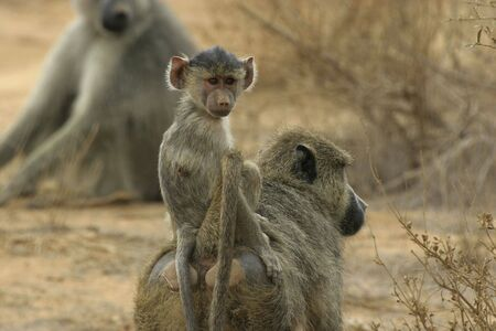 yellow baboon  riding on mothers back