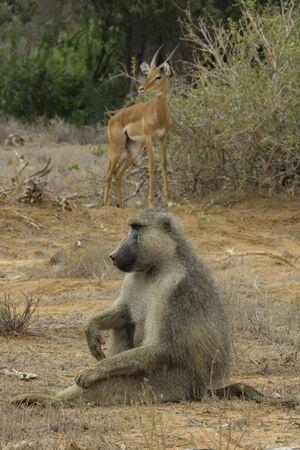 male yellow baboon and impala antelope