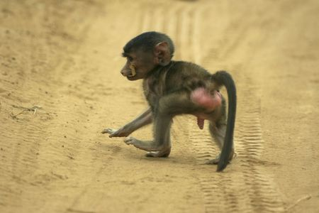 penis: young male baboon  Stock Photo