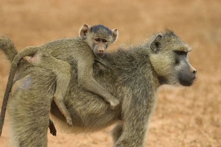attachments: baboon mother carrying  on her back Stock Photo
