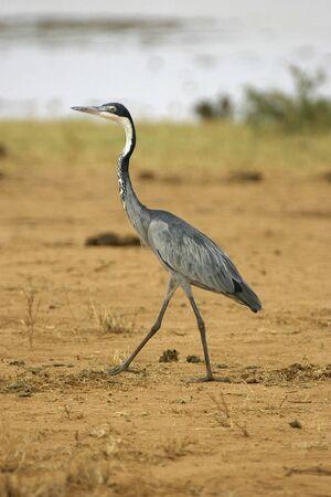 necked: black necked heron walking on red soil of tsavo national park kenya
