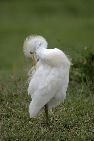 preening: cattle egret preening