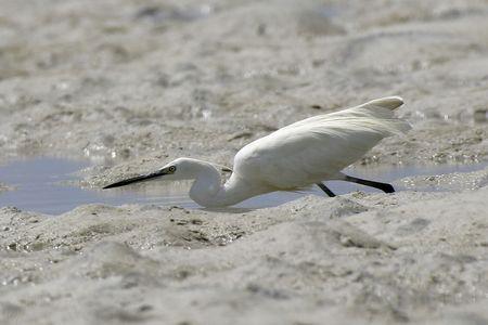 dimorphic egret fishing