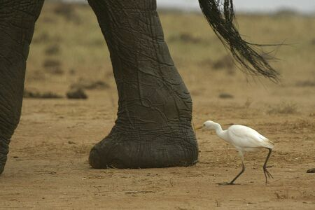 cattle egret picking on elephant foot Stock fotó