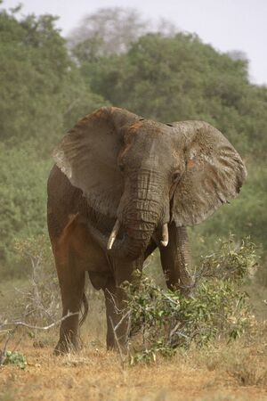 dusting: african elephant dusting itself Stock Photo