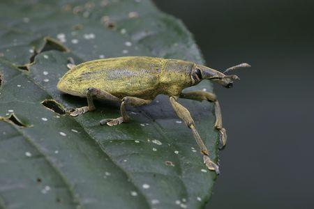 tropical snout beetle