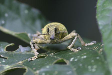 tropical snout beetle portrait Stok Fotoğraf
