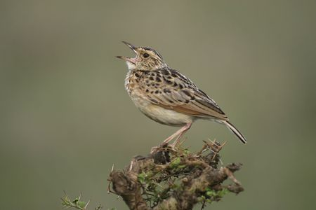 rufous naped lark singing from perch