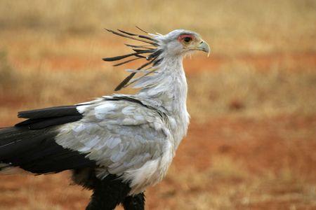tsavo: portrait of secretary bird