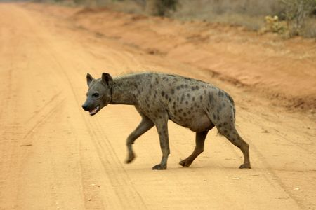 spotted hyena crossing road