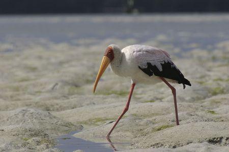 wading: yellow-billed stork wading on mudflat Stock Photo