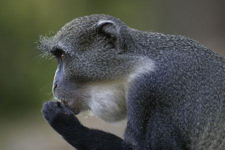 Sykes Monkey with Full Cheek Pouch Фото со стока