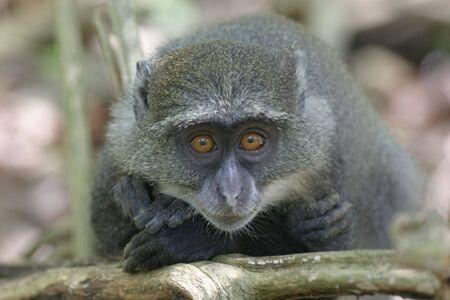 juvenile: juvenile sykes monkey