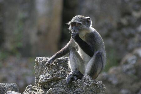 juvenile sykes monkey