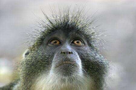 sykes monkey looking into sky