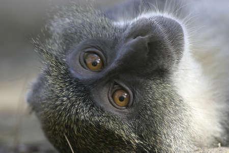 portrait of sykes monkey