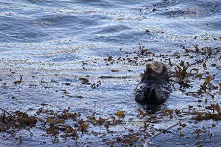 otter: California Sea Otter