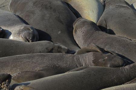 Portrait of elephant seals sleeping on beach rookery Stock Photo - 723215