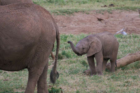 Newborn elephant calf lifting up its trunk Banco de Imagens - 942887