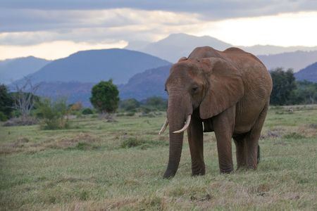 africana: African elephant on green pasture in front of Taita hills, Tsavo National Park, Kenya