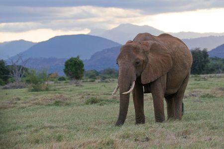 tsavo: African elephant on green pasture in front of Taita hills, Tsavo National Park, Kenya