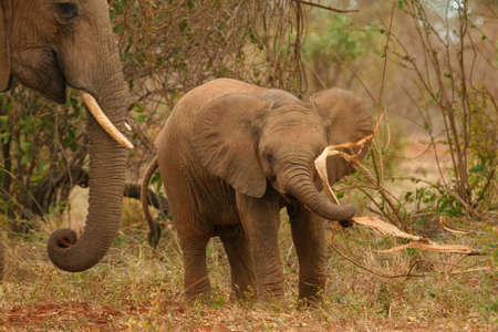 Elephant calf playing with food