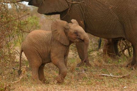 Elephant calf in playful mood 版權商用圖片 - 942894