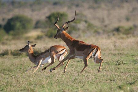 in herding: Impala antelope buck herding one of his females Stock Photo
