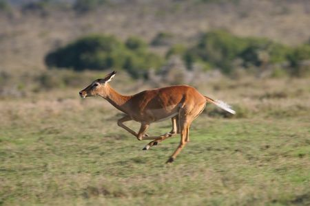 antelope: Impala antelope, Aepyceros melampus, on the run Stock Photo