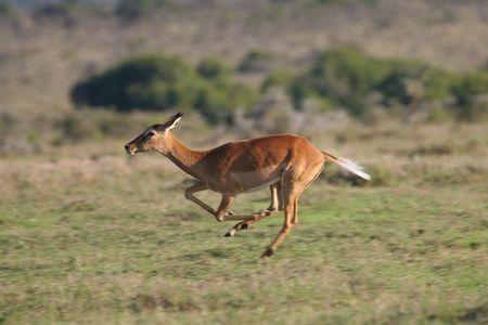 Impala antelope, Aepyceros melampus, on the run 版權商用圖片