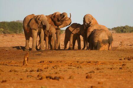 tsavo: Herd of African Elephants at the water hole in Tsavo National Park, Kenya