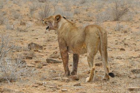 tsavo: Single lion standing in arid savanna of Tsavo East National Park, Kenya Stock Photo